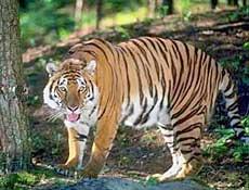 Zij de enorme kracht van zijn spieren kan de tijger dieren doden die