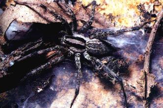 De trechterspin maakt een trechtervormig web waarvan de brede kant bij ...: www.gibodriehoek.be/Website Klasfons/klasfons/soorten_spinnen.htm